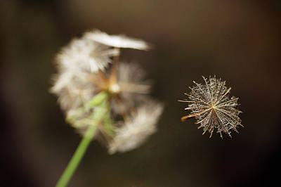 Salsify Wall Art - Photograph - Goat's Beard Seed by Andy Harmer/science Photo Library