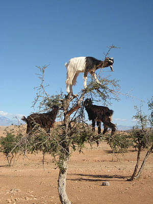 Photograph - Goats In A Tree by Steve Ball