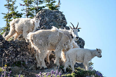 Photograph - Goats On Hurricane Hill by Ronda Broatch
