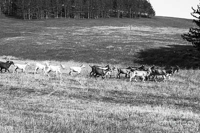 Goats Running On The Field In Black And White Original