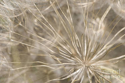 Goatsbeard Print by Anne Gilbert
