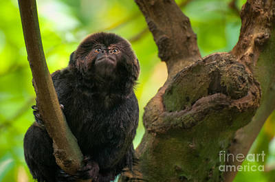 Art Print featuring the photograph Goeldi's Callimico by Bianca Nadeau