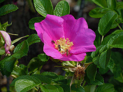 Rosa Acicularis Photograph - Going For The Gold by Heather Coen