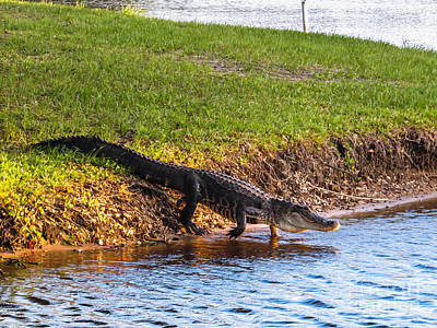 Crocodile Photograph - Going Home by Zina Stromberg