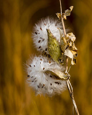 Photograph - Going To Seed by Steve Thompson