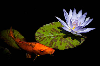 Goldfish Photograph - Gold And Blue by Priya Ghose