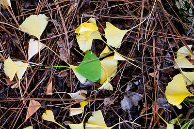 Gingko Wall Art - Photograph - Gold And Green Gingko Leaves by Laura Iverson
