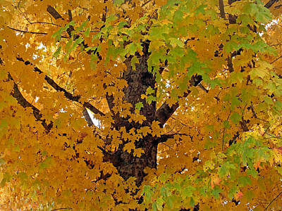 Photograph - Gold And Green Maple Leaves by Duane McCullough