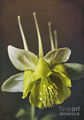 Aquilegia Photograph - Gold Columbine by Elena Nosyreva
