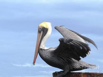 Gold Crown Pelican Art Print