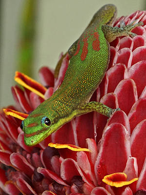 Photograph - Gold Dust Day Gecko by Inge Riis McDonald