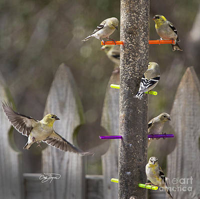 Gold Finch Cleared For Landing Art Print by Cris Hayes