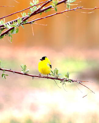 Photograph - Gold Finch by Floyd Tillery