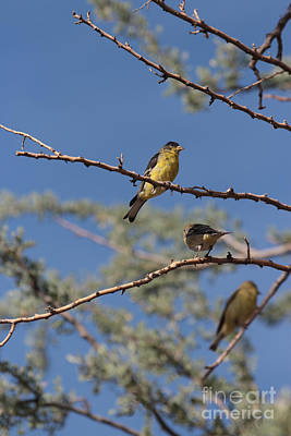Crush Creations Photograph - Gold Finches I Have Your Back by Crush Creations