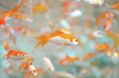 Trapped Photograph - Gold Fish by Keiko Iwabuchi