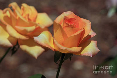 Photograph - Gold Medal Rose by Terri Mills