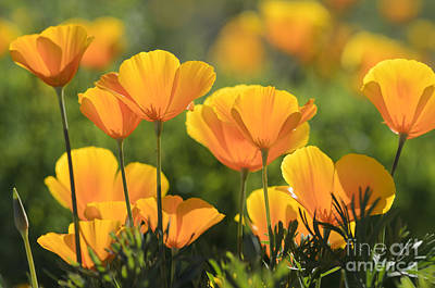 Photograph - Gold Poppies by Tamara Becker