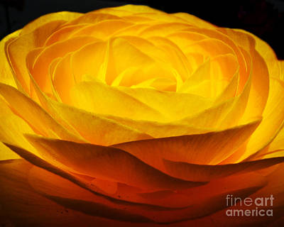 Photograph - Gold Ranunculus Flower by Kristen Fox
