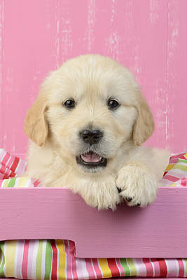 Golden Puppy Photograph - Gold Retriever Pink Background by Greg Cuddiford