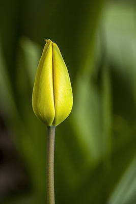 Photograph - Gold Tulip Bud by Albert Seger