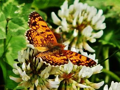 Photograph - Gold Wings On Clover by VLee Watson