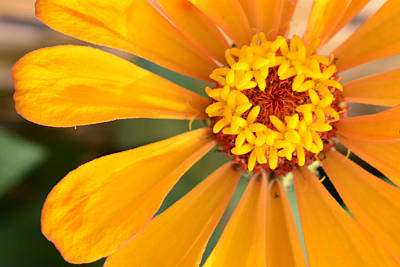 Photograph - Golden Orange Zinnia  by Jeanne May