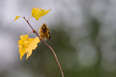 Photograph - Goldcrest by Gavin Macrae