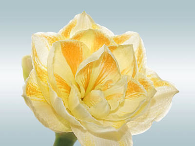 Amarylis Photograph - Golden Amaryllis by Gill Billington