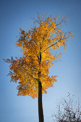 Photograph - Golden And Orange Tree With Blue Sky In Fall by Matthias Hauser