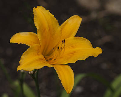 Photograph - Golden Asiatic Lily by Lee Kirchhevel