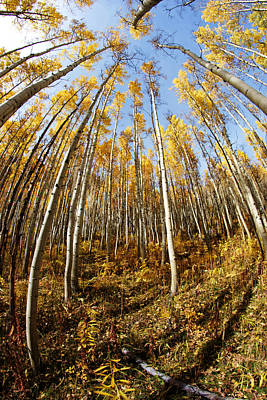 Photograph - Golden Aspens And Sky No.2 by Daniel Woodrum