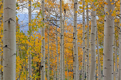 Photograph - Golden Aspen's by Greg Sagan