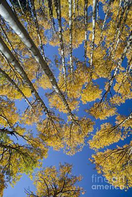 Photograph - Golden Aspens by Tamara Becker