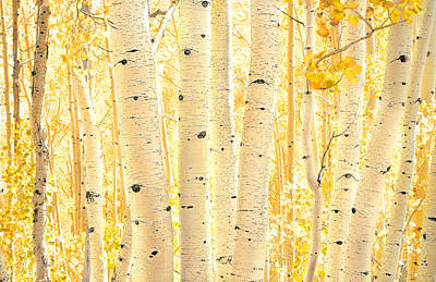 Photograph - Golden Aspens Utah by Rich Franco