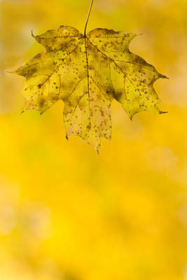 Maple Photograph - Golden Autumn by Sebastian Musial