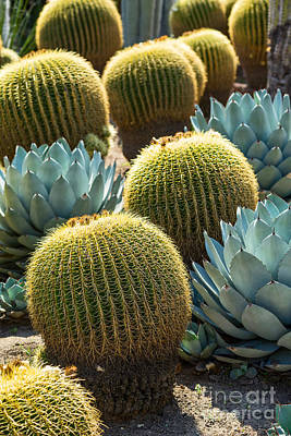 Barrel Cactus Photograph - Golden Barrell - Echinocactus Grusonii Cactus Is A Well Known Species. by Jamie Pham