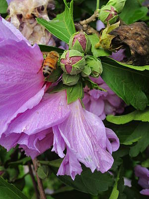 Photograph - Golden Bee And The Purple Flower by Guy Ricketts