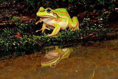 Anuran Photograph - Golden Bell Treefrog, Litoria Aurea by David Northcott