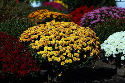 Photograph - Golden Blooms Among The Mums by Bill Swartwout