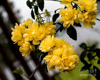 Photograph - Golden Blooms One by Ken Frischkorn