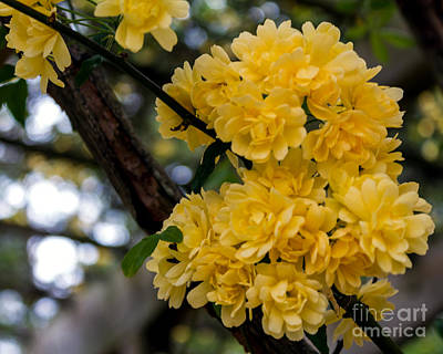 Photograph - Golden Blooms Two by Ken Frischkorn