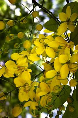 Cassia Blossoms Photograph - Golden Bow by Chrystyne Novack