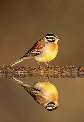 Golden-breasted Bunting With Reflection Print by Tony Camacho