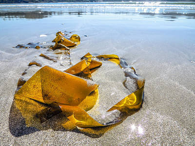 Photograph - Seaweed Sun Glow by Roxy Hurtubise