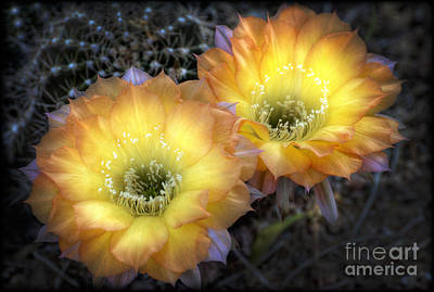 Yellow Cactus Flower Photograph - Golden Cactus Flowers  by Saija  Lehtonen