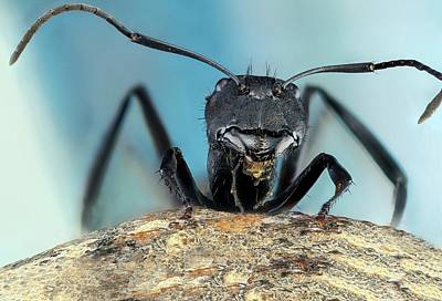 Golden Carpenter Ant Art Print by Nicolas Reusens