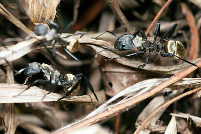 Carpenter Wall Art - Photograph - Golden Carpenter Ants by Olivier Vandeginste