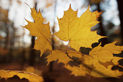 Close Focus Nature Scene Photograph - Golden Coloured Maple Leaves In Autumn by Ron Bouwhuis