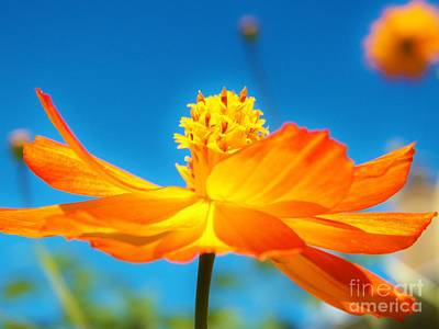 Photograph - Golden Cosmo In The Sky by Judy Via-Wolff