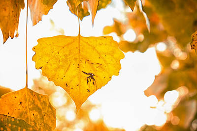 Photograph - Golden Cottonwood Leaf by Mary Lee Dereske